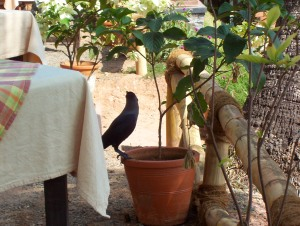 A crow in Kerala